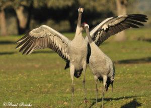 Birding Grulla